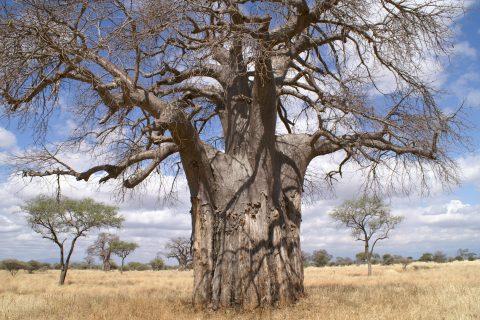 Africa Tanzania baobab