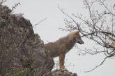 un lupo nel Parcon nazionale d'Abruzzo Molise e Lazio