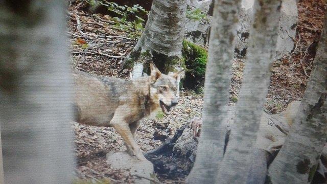 Nella foresta del Parco un lupo alle prese con una carcassa di mulo