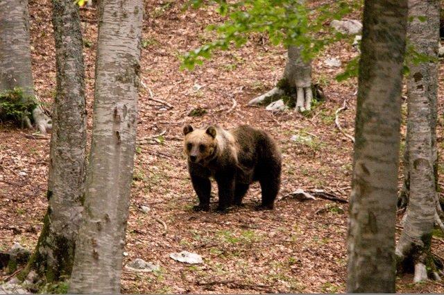 Abruzzo Un orso sul Monte Tranquillo