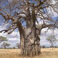 Africa Tanzania baobab biodiversità