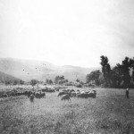 Abruzzo transumanza gregge anni '30 tratturo Celano Foggia