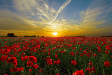 un campo di papaveri rossi al tramonto