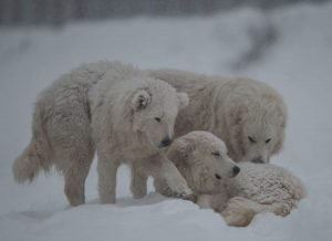 tre cani pastori abruzzezi