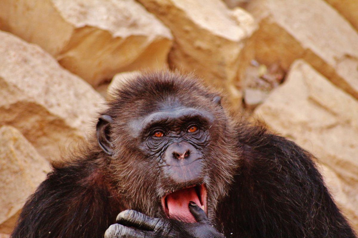 congo gorilla