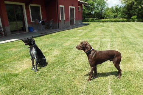 cani bracco